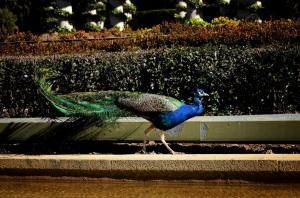 Pavos reales en Palacio de Cristal de la Arganzuela