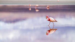 Flamenco en el Salar de Uyuni